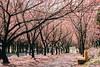 櫻 (Sean__YT) Tags: 櫻花 taiwan 武陵農場