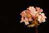 Viburnum bodnantense (Michel Vedder) Tags: sneeuwbal viburnumbodnantense arrowwood bloei bloemen blumen buds fleurs flores flowers gardens growth heesters jardin knoppen pink planten plants roze shrubbery struiken tuinen white wit arnhem gelderland nederland nl
