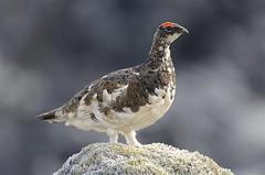 Rjúpa - Rock Ptarmigan - Lagopus muta (oskar.sigurmundason) Tags: nature birds rock t island iceland nikon ngc birding sigma national ptarmigan muta rjúpa lagopus d7000 150600
