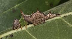 Unicorn With Many Horns (Odonata457) Tags: county oak mt unitedstates howard maryland caterpillar woodstock unicorn pleasant schizuraunicornis midinstar