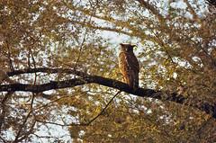 Brown Fish Owl (Ketupa zeylonensis) (berniedup) Tags: india rajasthan ranthambore brownfishowl ketupazeylonensis taxonomy:binomial=ketupazeylonensis