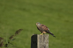 Torenvalk - Kestrel (aaronmeijer2) Tags: bird animal canon photography eos outdoor wildlife raptor castricum birdofprey wildlifephotography 450d castricummerpolder