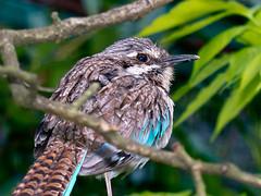 Langschwanz-Erdracke (Eerika Schulz) Tags: bird birds ground aves ave roller vgel vogel chimaera longtailed uratelornis langschwanzerdracke