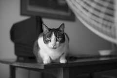 cat on table (apg_lucky13) Tags: blackandwhite bw monochrome cat fur table blackwhite feline looking rip sigma chloe whiskers paws catseyes sigma30mmf14 40d 20062015