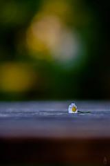 Lost Daisy #2 (der LichtKlicker) Tags: plant flower table wooden focus dof bokeh f14 pflanze 85mm plate daisy fujifilm blume platte tisch holz walimex blmchen gnseblmchen lightroom buttery holztisch sharpness samyang schrfe lichtklicker