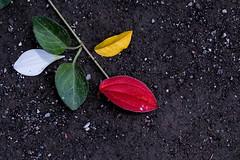 colors - https://500px.com/photo/122661919/ (KT.pics) Tags: flower macro nature colors up leaves closeup season leaf colorful close ground jp       500px  ktpics