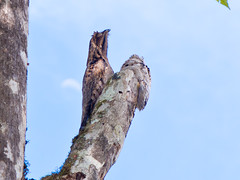 Urutau-Tagschläfer (Eerika Schulz) Tags: urutautagschläfer urutau common potoo nyctibius griseus mindo ecuador vogel vögel bird birds ave aves eerika schulz
