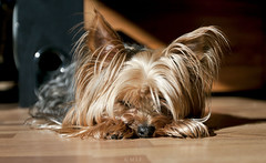 Sleepy head (mrs_fedorchuk) Tags: york sleeping portrait hairy dog pet home yorkie animal norway canon friend yorkshire terrier sleepy sleepyhead scandinavia yorkshireterrier trondheim canonphotography canonphoto canoneos450d tosik middlenorway canonmark5d canonofficial
