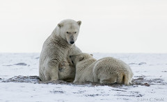 CubNursing (cheryl strahl) Tags: alaska milk bears arctic polarbears nursing eskimo arcticcircle kaktovik barterisland inupiat droh northslopealaska dailyrayofhope alaskascoastalwilderness dailyrayofhope2015 beaufordsea anwralaska
