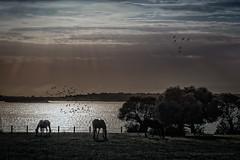 Aves y caballos en libertad. (Javier Martinez de la Ossa) Tags: sunset horses espaa lago caballos sevilla andaluca agua nubes puestadesol laguna ocaso doana dehesadeabajo javiermartinezdelaossa