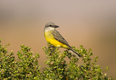 Tropical Kingbird (Eric SF) Tags: california bird fremont kingbird bestpractices tropicalkingbird coyotehillsregionalpark