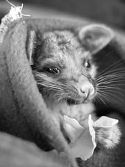 Zeb (simon.colebrook) Tags: possum baby feeding time perth omd zeb nar em10