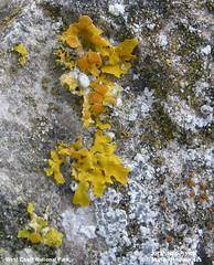 Strange Xanthoria WCNP-sft  2013-10-19 [4334] (marlandza) Tags: xanthoria littoral foliose saxicolous