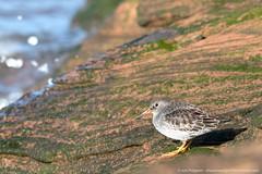 0G6A3766-Edit.jpg (saleterrier) Tags: bird naturereserve sandpiper wirral purplesandpiper hilbre hilbreisland