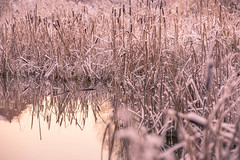 Frost cigar (jorgen.martinsson) Tags: winter lake reed pond frost dam freezing barrage