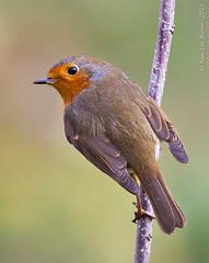 European Robin (Erithacus rubella) (Jeluba) Tags: bird nature vertical canon suisse erithacusrubecula wildlife aves ornithology birdwatching oiseau europeanrobin rotkehlchen 2015 rougegorgefamilier