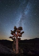 A Joshua Tree under the Stars (johnredin) Tags: california lightpainting night lens stars deathvalley milkyway 14mmrokinon