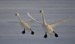 Japan (richard.mcmanus.) Tags: japan hokkaido winter lakekussharo whooperswans swans birds wildlife ice animals lake white dawn landing mcmanus