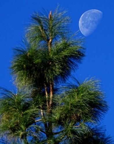 Pinus canariensis i lluna del matí