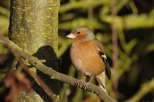 IMGP2504 Chaffinch (m), Fen Drayton Lakes, December 2016