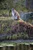 Luchs (THX 4 11.111.111 Views) Tags: gelsenkirchen bismarck zoomerlebniswelt zoo luchs afs105mm14e d7200 michaeldöring