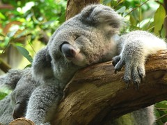 Sweet dreams... (libra1054) Tags: koalas coala tiere animals animales animali animaux animais zooduisburg outdoor