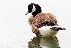 Anglų lietuvių žodynas. Žodis canada goose reiškia kanada žąsų lietuviškai.