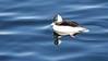 Bufflehead 1 (mausgabe) Tags: olympus em1 olympusm40150mmf28 olympusmc14 nyc centralpark thereservoir bird duck male bufflehead