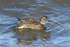 Anas crecca ♀ (Green-winged Teal) - Skagit, WA (Nick Dean1) Tags: anascrecca teal waterfowl anseriformes washingtonstate washington washingtonusa greenwingedteal thewonderfulworldofbirds birdperfect birdwatcher duck dabblingduck skagitcounty skagitvalley padillabay anas