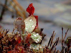 drops on leaves (Hayseed52) Tags: waterdrops drops leaves rain winter