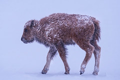 Bison Calf - Snow Storm[Explored] (BernieErnieJr) Tags: bison americanbison calf colorado coloradowildlife wildlife sony70400mmg2 sonya77mkii frontrange greatphotographers teamsony rockymountains mountains snow snowy winter wind windy commercecity rockymountianarsenalnationalwildliferefuge