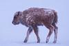 Bison Calf - Snow Storm[Explored] (BernieErnieJr) Tags: bison americanbison calf colorado coloradowildlife wildlife sony70400mmg2 sonya77mkii frontrange greatphotographers teamsony rockymountains mountains snow snowy winter wind windy commercecity rockymountianarsenalnationalwildliferefuge