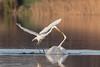 Great Egret (Ardea alba) (Linda Martin Photography) Tags: dorset wildlife greategret nature birds canoneos5dmarklv altercation ardeaalba uk longhamlakes naturethroughthelens ngc coth npc