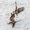 Eagles 1.7.17-22 (alan.forshee) Tags: bald eagles juvenile mature feeding playing tustling flight ice winter bird prey raptor beauty snow tree fish
