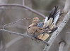 Mourning Dove Preening (fotogaffer1) Tags: em1ii birds 300mmf4