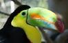 World of Color (greekgal.esm) Tags: keelbilledtoucan toucan bird losangeleszoo lazoo losangeles griffithpark california sony rx10m3 rainforestoftheamericas