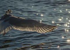 Wing Over the Water (tquist24) Tags: connecticut nikon nikond5300 beach bird feathers flight ocean reflection reflections seagull water wing christmas morning westbrook
