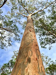 Looking up (NettyA) Tags: brisbane eucalyptus mtcoottha australia qld queensland bark spottedgum corymbiamaculata