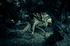 Haunting (R*Pacoma) Tags: places balboapark trees sandiego california grove landscape nature scary haunting