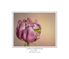 ..............🎂..............🎂..............🎂................ (.... belargcastel ....) Tags: cumplemontse flor flower tulip tulipán rana frog hylaarborea antón macro texturas ranitadesanantonio belargcastel belénargüeso españa spain galicia