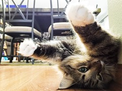 Stretch Armstrong (backbeatb00gie) Tags: pet vsco iphone fun cute playing kitchen home lazy floor cat elsie littledoglaughedstories