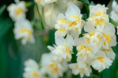 Narcissus (Hideo N) Tags: meyer optik trioplan 100mm f28 narcissus xt1 fantasticflower