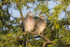 Zebra Doves (Peter Stahl Photography) Tags: zebradove dove hawaii maui outdoors bird