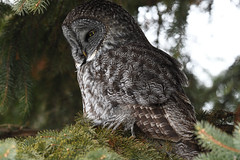 Chouette lapone / Great grey owl (2017-01-19) (Sylvain Prince) Tags: strixnebulosa