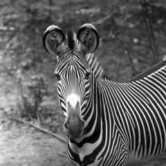 103659 10 (ndpa / s. lundeen, archivist) Tags: nick dewolf nickdewolf october bw blackwhite photographbynickdewolf 1959 1950s film 6x6 mediumformat monochrome blackandwhite chicago illinois suburbs brookfield zoo brookfieldzoo animal suburbanchicago chicagoland stripes striped zebra face portrait ears roundears