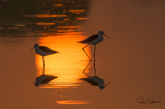 black winged stilt (TARIQ HAMEED SULEMANI) Tags: sulemani supershot sensational summer tariq tourism tariqhameedsulemani travel wild wildlife birds bird