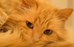 "My lovely cat named ""Yandex"" (mikhailkorzhalov) Tags: cat canon takumar animals manual animal catsportrait animalportrait manualfocus redheaded pets 50mm 5014 vintagelenses"