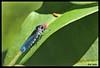 4808-Cigarrinha (Ana Gadini) Tags: canon macro novafriburgo brasil brazilcanonef100mmlf28macrousm canonef100mml canonef100mmmacrousml canon100mmlf28macrousm canon100mmmacrol canon70d 70d canoneos anaclaudiafriburgo anaclaudiafotografias anaclaudia friburgo regiãoserrana serra montanha mountain riodejaneiro fotocartão cartão foto cart postal fotosàvenda vendadefotos vendadecartões fotográficos cartãopostal àvenda forsale presente present souvenir lembrança gift natureza nature insect inseto cigarrinha