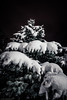 Pining for the thaw (Anthony P26) Tags: category eskisehir nightscenes places snow turkey yunusemrecampus pine evergreen christmastree winter frozen freezing needles branches snowflakes outdoor tree trees canon1585mm canon70d canon night dark darkness