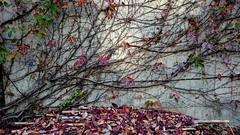 變色和落葉的季節 Discoloration and leaves of the season (rightway20150101) Tags: taichung taiwan discoloration leaves 變色 落葉 菩薩寺 buddha temple